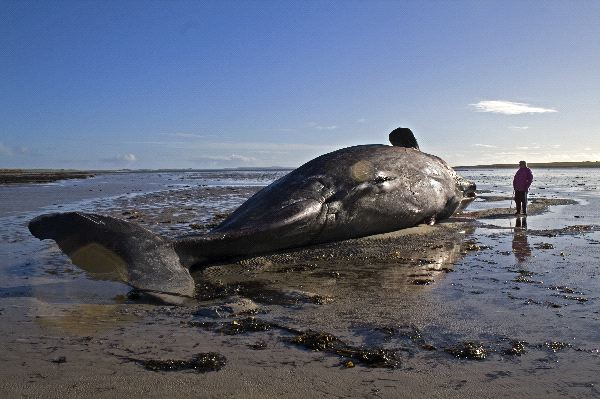 Beached_Whale_in_Scotland_600.jpg