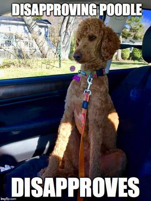 Poodle-Meme-Disapproving-poodle.-disapproves.jpg.314ed46afd44382f1742d42b740a1947.jpg